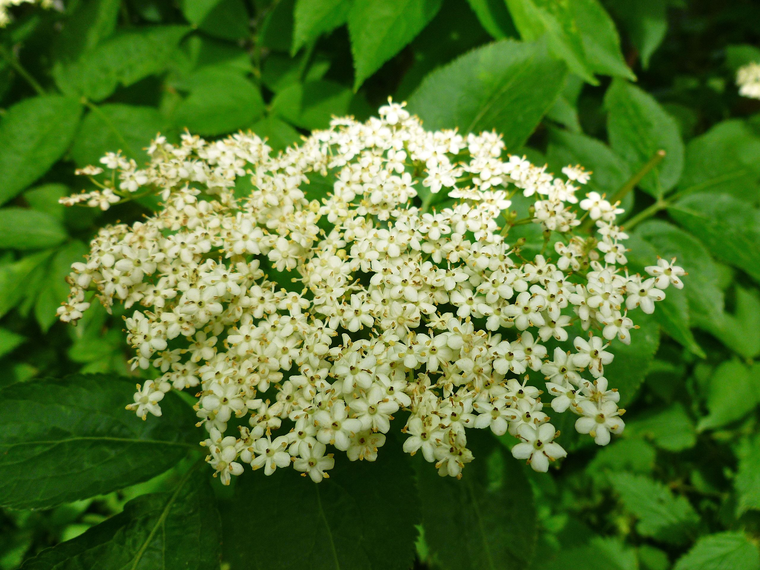 elderflowers1